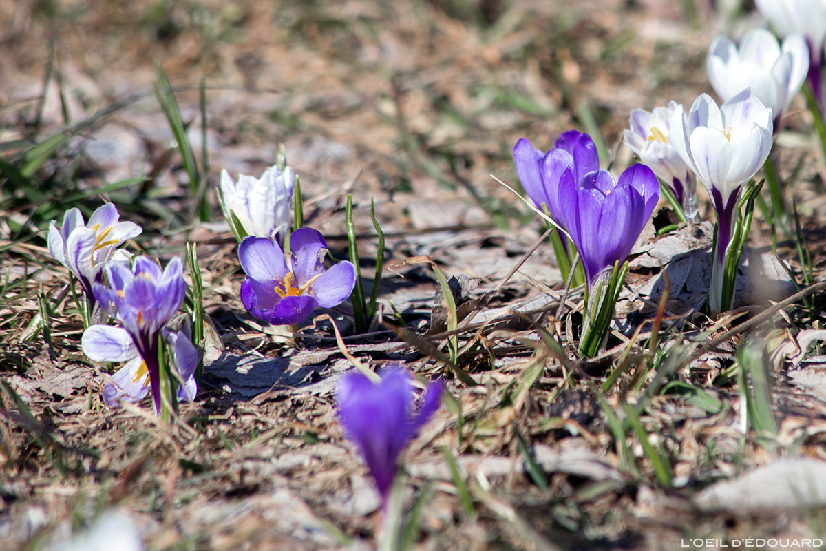 Crocus au printemps