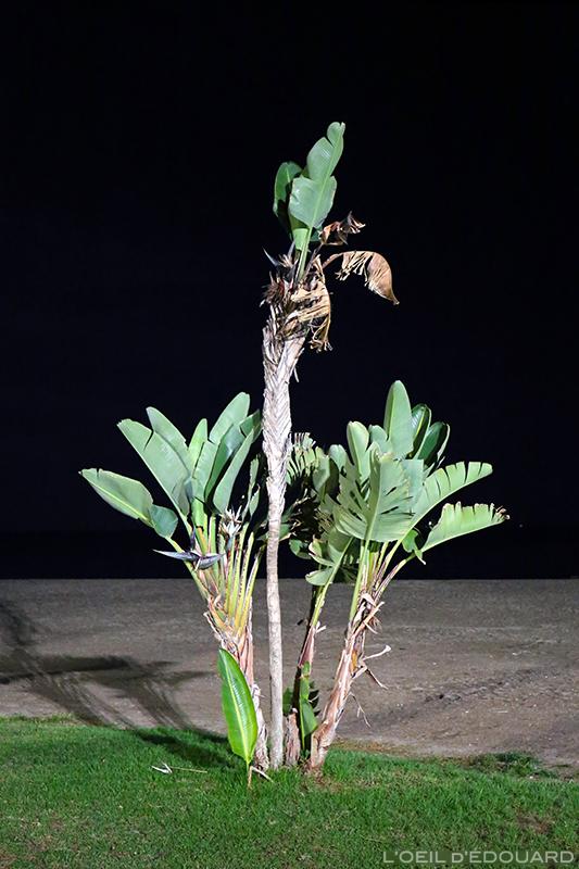 Bananier de nuit, Malaga