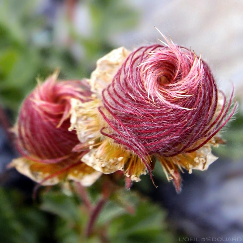 Anémone Pulsatille en floraison