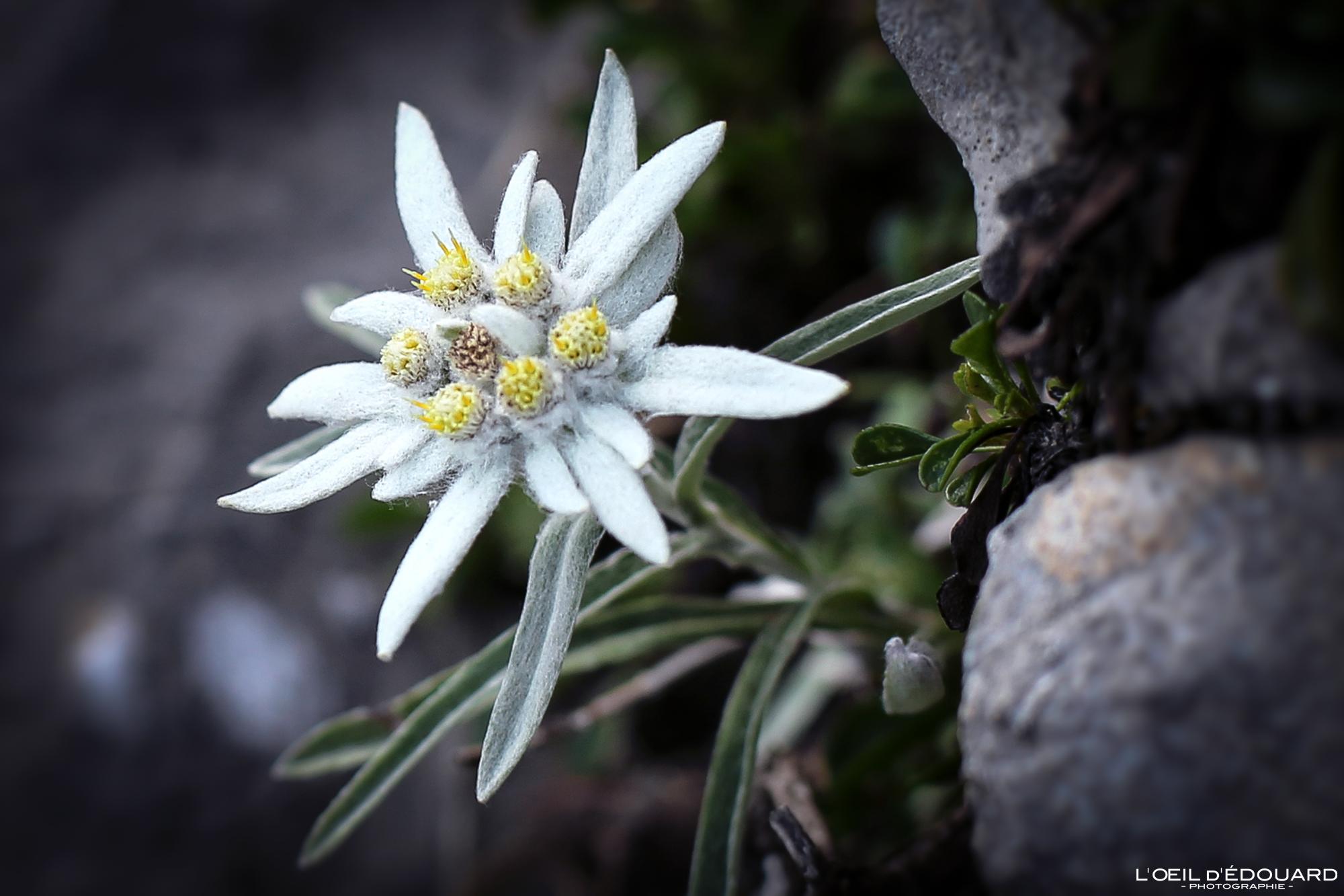 Edelweiss, fleur de montagne © L\'Oeil d\'Édouard - Tous droits réservés